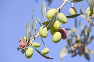 橄榄菜的副作用有哪些橄榄菜的做法